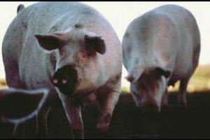 Deine Reime Sind Schweine